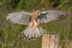 Landing gear down! 500_1624.jpg (Mobile Lynn) Tags: birds birdsofprey kestrel nature bird birdofprey fauna raptor wildlife otterbourne england unitedkingdom gb coth specanimal ngc coth5 sunrays5 npc
