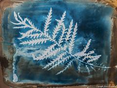 Tanacetum (SCTfinearts) Tags: umenprinting alternative printing nature botany tanacetum