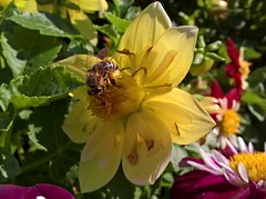 WP_20170819_10_14_47_Pro (vale 83) Tags: bee microsoft lumia 550 macrodreams wpphoto wearejuxt flickrcolour colourartaward coloursplosion thebestyellow autofocus beautifulexpression