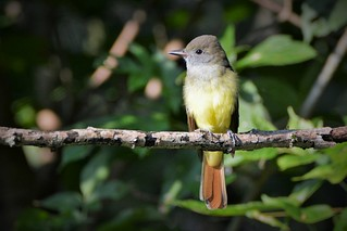 Great Crested Flycatcher by Jackie B. Elmore 9-3-2017 Lincoln Co. KY