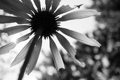 bugs eye view (sephrocker) Tags: efm nature newjersey m1 blackandwhite monochromatic mono flower canonefm28mm depthoffield bokeh