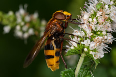 Hoverfly (Volucella zonaria) (The LakeSide) Tags: insect macro nikon r1c1 d7100 volucella zonaria fly hoverfly