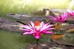 Day One (pramuditalina) Tags: flowerpark puncak jawabarat color pinkwhite sunshine nikond90 lightroom waterlily tamanbunganusantara