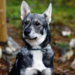 Koira / A Dog thumbnail