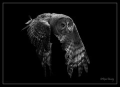 Silent hunter of the night. (ronalddavey80) Tags: canon eos70d tamron 70300mm owl night wildlife black white bird prey hunter