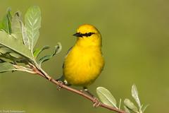 BJ8A0965-Blue-winged Warbler (tfells) Tags: bluewingedwarbler bird nature passerine songbird nj newjersey baldpatemountain