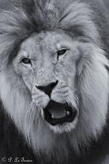 Lion 002 (letexierpatrick) Tags: lion animal blanc noir nature nikon nikond7000 noirblanc france zoo félin monochrome portrait