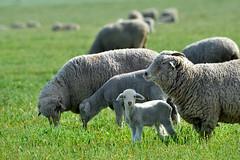 Ewe and your cute little kid... (Marc Briggs) Tags: dsc0703aw sheep lamb ovis aries ovisaries flock ewe grass green filed pasture livestock mammal