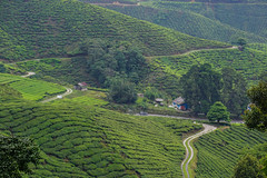 Tea plantation in Cameron Highlands, Malaysia (phuong.sg@gmail.com) Tags: agriculture asia background beautiful cameron ceylon china crop cultivation environment farm farmland field flora foliage forest fresh garden green highland hill industry landscape leaf light malaysia meadow mountain nature organic outdoor pattern plant plantation range sky south spring summer sunny tea texture tree tropical valley wood