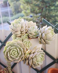 Without I.D. yet, could it be Graptoveria Titubans ?