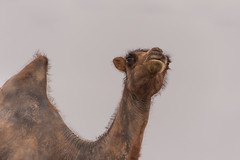 1706_mbe_mongolia_ömnögov_tsogt ovoo_070 (Marcel Berendsen - The Netherlands) Tags: asia asian azie camelusbactrianus mongolia mongolian mongolië travel tsogtovoo world agrarisch agricultural agriculture bactraincamel camel camels caprine countrified desert farming gobi gobidesert kameel kamelen landelijke landscape landschap rural rustic scenery scenic travelphotography woestijn ömnögov