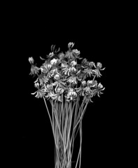 58487.05 Trifolium repens (horticultural art) Tags: horticulturalart trifoliumrepens trifolium clover whiteclover flowers bouqust blackandwhite bw