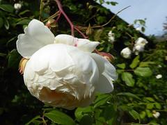 White rose (JuliaC2006) Tags: owletts kent garden white rose flower