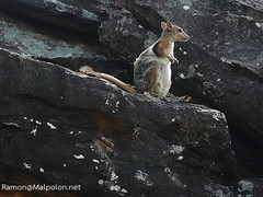 Short-eared rock-wallaby at Kakadu (Petrogale brachyotis)