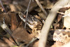 Adder Female (kevinclarke1969) Tags: viper adder female snake zig zag viperus berus moors reptile venomous