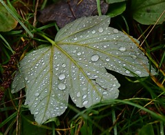 (:Linda:) Tags: germany thuringia village bürden leaf droplet