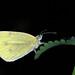 Klein koolwitje - Pieris rapae - Small white (Theo Groen) Tags: vlinder butterfly kleinkoolwitje pierisrapae smallwhite