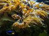 OCEANOGRÀFIC 14 (Sachada2010) Tags: sachada sachada2010 javier martin olympus epl6 valencia amphiprioninae micro 43 panasonic 14mm zuiko 8mm 45mm f18 40150mm r oceanografic fondo marino pez payaso nemo anemonas 9mm fisheye