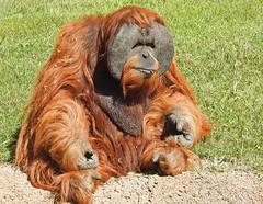 Orangotango-de-Sumatra (Pongo abelii) (Marina CRibeiro) Tags: portugal lisboa lisbon zoo orangotangodesumatra primata primate superphotographer
