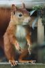 Saisonhörnchen #1 (explored) (bauingenieuse) Tags: lovely cute tannenäffchen squirrel eichhörnchen garten garden besuch visit red rot süs herbst 2017 bauingenieuse bunt futterhaus feeder klappe entrance boy junge eichkater 200mm canon 60d ngc eingang hörnie 150mm explored
