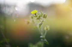 Autumn Glow.. (KissThePixel) Tags: sunset sunsetbokeh bokeh weed flower yellowflower yellow gold glow nikon nikondf nikkor nikkor12 f12 aperture primelens 50mm fullframe autumn autumnlight autumncolours september septembersun evening macro