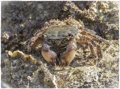 CANGREJO (BLAMANTI) Tags: cangrejo agua mar salado humedo camuflaje