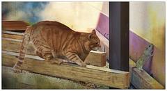 Zarpazos y su instinto cazador (En memoria de Zarpazos, mi valiente y mimoso tigre) Tags: gattuso kat katt pushi pishi redchat gatoatigradonaranja gingercat orangetabby gatofeliz gatolibre dep rip garfield gatopelirrojo gattoarancione zarpazos gatocazandoratón mouse rata gatoyrata cat ginger gattorosso