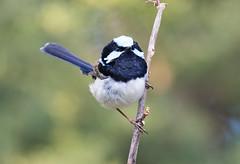 Mr Superb (christinaportphotography) Tags: superbfairywren maluruscyaneus fairywren lamingtonnationalpark queensland australia bird birds wild free focus bokeh dof