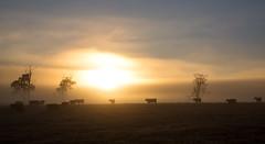Stuck on the Edge (Keith Midson) Tags: sunrise cows field pasture agriculture tasmania sun fog mist early morning trees farm farming rural carrick