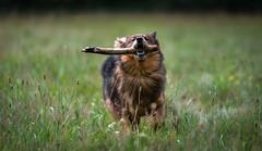 Sultan (bramtop_1990) Tags: sultan dog hond pet huisdier buiten gras grass tak branch sheltie eurasier nijmegen stok hout wood nikon d610 tamron 70200 f28 outside walk run running dogwalk