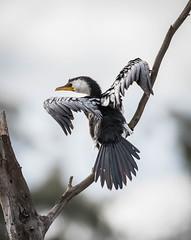 Little Pied Cormorant (Matt OZW) Tags: crusoereservoir microcarbomelanoleucos victoria boxironbark bendigo australia birds littlepiedcormorant places
