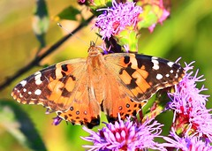 painted lady at Lake Meyer Park IA 854A6145 (lreis_naturalist) Tags: painted lady butterfly meadow blazing star blooming lake meyer park winneshiek county iowa larry reis