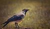 Cornacchia Grigia // Corvus Cornix (Christian Papagni | Photography) Tags: segrate lombardia italia it cornacchia grigia corvus cornix bird crow milano due laghetto dei cigni