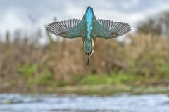 Kingfisher Diving (Gary Hickson Photography L.R.P.S.) Tags: kingfisher kingfishers uk d800 diving nature wild wildbirds fish fishing nikond800