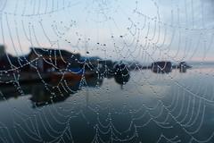Drops (evisdotter) Tags: morning light spiderweb spindelnät dew dagg droplets droppar water macro bokeh sooc nature sjökvarteret mariehamn dimma fog cloudy