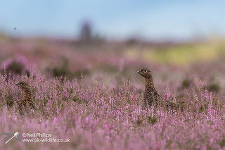 Red grouse-13