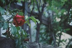 Rosy (しまみゅーら) Tags: minolta mactele qd 38mm f28 80mm f56 kodak ultramax 400