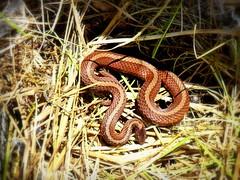 Northern Red-bellied Snake (yooperann) Tags: upper peninsula michigan storeria occipitomaculata gwinn common snake redbellied