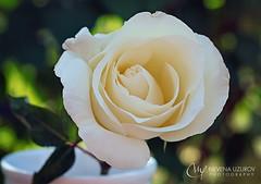 Nevena Uzurov - Delicate petals (Nevena Uzurov) Tags: rose white petals delicate tender garden light vasw nevenauzurov serbia ruža