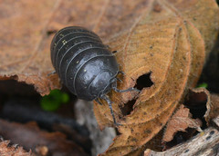 Pill Woodlouse (John_E1) Tags: pill woodlouse armadillidium vulgare macro closeup animal