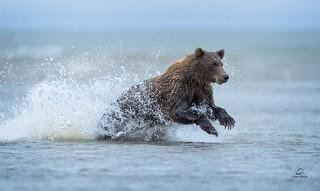 Pouncing Bear