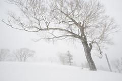 Wind swept stand of a tree   #100-4658 (izurutoki) Tags: hokkaidoinwinter goldbirch wintertree trees winterweather winterlandscape japan 北海道 natureinhokkaido white