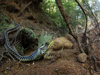 Eastern Gartersnake (Thamnophis sirtalis sirtalis) eating Northern Green Frog (Lithobates clamitans melanota)
