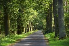 summer moods (JoannaRB2009) Tags: oak oaks path alley avenue nature forest woods green light shadow tree trees lowersilesia dolnyśląsk polska poland