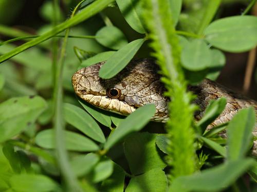 Culebra lisa / smooth snake