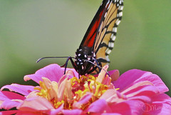 close up butterfly (DML0mba) Tags: kapechick barnstable barnstablema massaudubon longpasturewildlifesanctuary