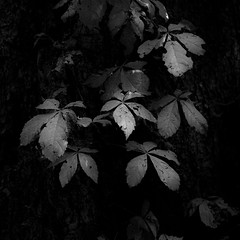 Thicket Details 037 (noahbw) Tags: captaindanielwrightwoods d5000 nikon abstract blackwhite blackandwhite bw dark darkness forest leaves light lowlight monochrome natural noahbw square summer woods