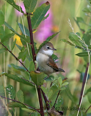 Whitethroat from the main hide
