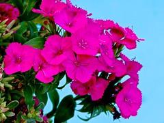 Dianthus Dawn (Chic Bee) Tags: dianthus purple pink fantasticflower flowerpot swimmingpool centraltucson tucson arizona usa americansouthwest southwesternusa blue green aqua aquamarine colors couleurs colores colorful