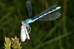 Rolf_Nagel-Fl-6046-Enallagma_cyathigerum (Insektenflug) Tags: enallagmacyathigerum commonbluedamselfly gemeinebecherjungfer becherazurjungfer almindeligvandnymfe enallagma cyathigerum common blue damselfly gemeine becherjungfer almindelig vandnymfe libelle libellen odonata zygoptera im fliegend flying flight airborne moor bog wildlife nature animal animals wild freilebend camera insects wilhelmshaven deutschland eos fauna fliegen flug germany natur naturfoto naturfotografie niedersachsen insekt insekten zoologie insect imflug inflight insektenflug minoltaerokkor75mm erokkor minolta rokkor 75mm envole en vole